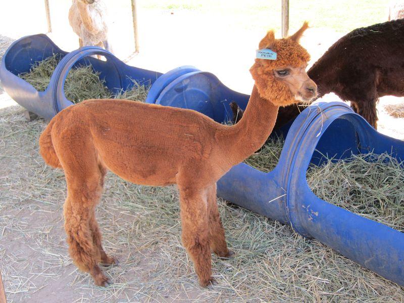 070911 windy farm alpacas 014