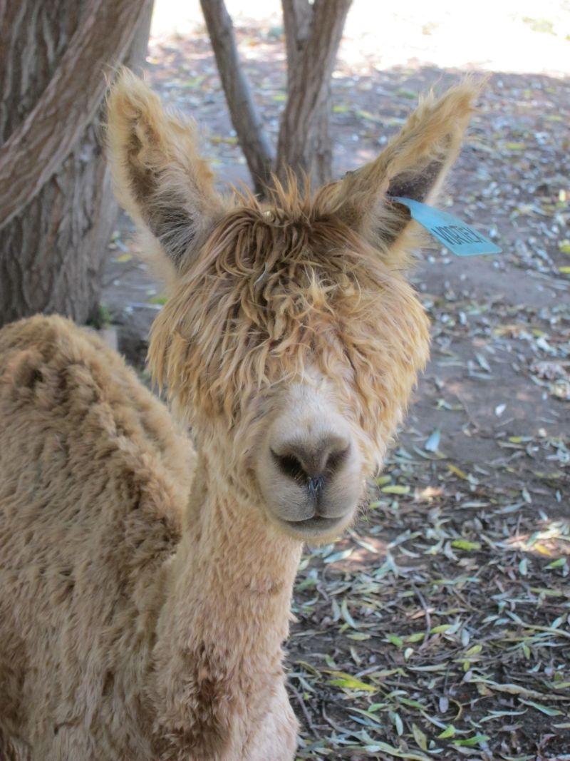 070911 windy farm alpacas 024