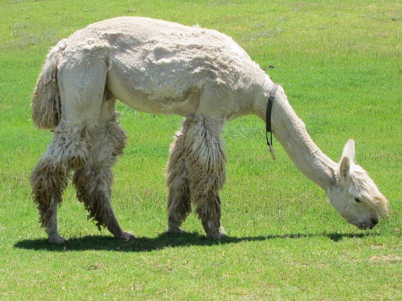 070911 windy farm alpacas 029