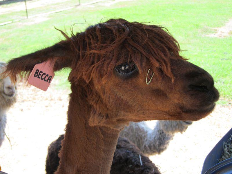 070911 windy farm alpacas 039