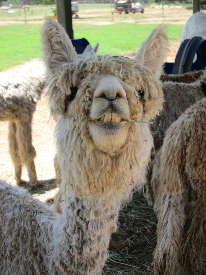 070911 windy farm alpacas 041