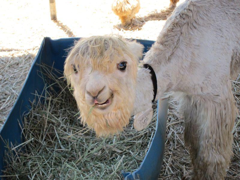 070911 windy farm alpacas 018