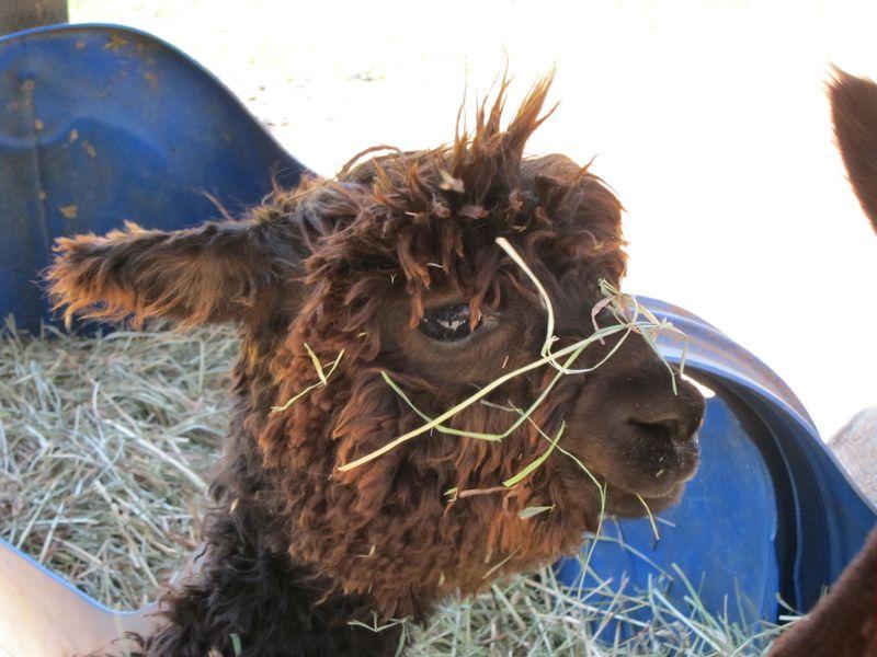 070911 windy farm alpacas 035