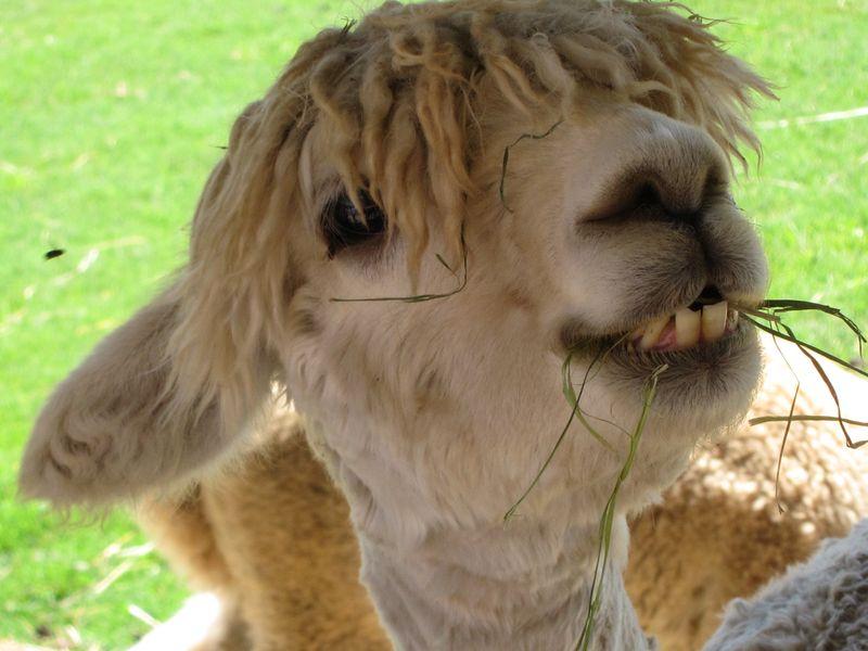 070911 windy farm alpacas 008