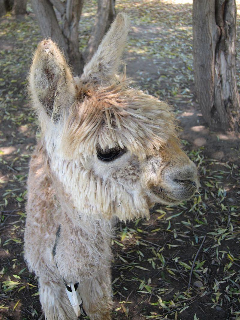 070911 windy farm alpacas 023
