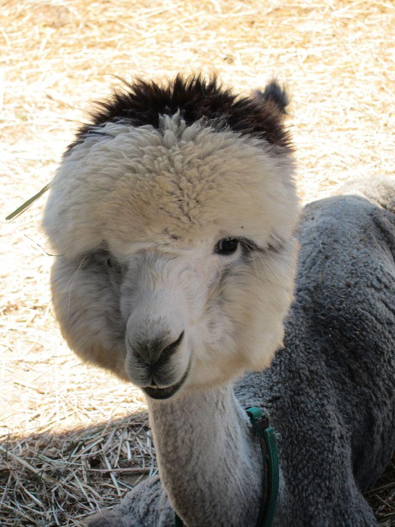 070911 windy farm alpacas 037