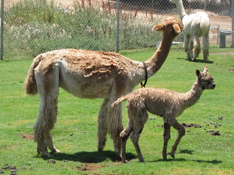 070911 windy farm alpacas 043